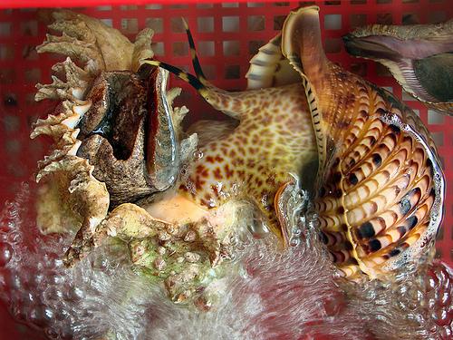 Bán sò dương, ốc đỏ, ốc gai, cá bò giáp, bào ngư